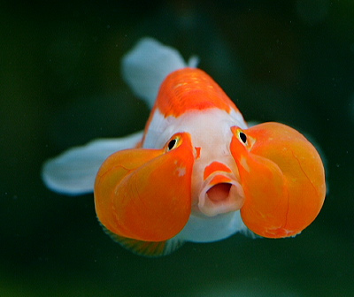 Jenis-Jenis Ikan Mas Koki « GOLDFISH LOVERS