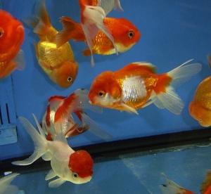 ikan maskoki yang memiliki nama latin carrasius auratus